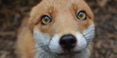 It's clear after one look at those big, adorable eyes: Pudding the fox is utterly in love with her human caretakers.  The red fox was born in the wild, but she's since found a new home. Abandoned by her mother in Yorkshire, England, she was taken i...