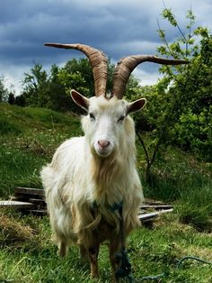 There are several goat breeds from around the world. Many have horns and many don't have. Many goat breeds' horns are deliberately remove. Their horns are either long or short. In some cases, their horns are uniquely shaped too like spiral, twiste Cute Baby Animals, Farm Animals, Animals And Pets, Wild Animals, Beautiful Creatures, Animals Beautiful, Hello Beautiful, Photo Animaliere, Tier Fotos