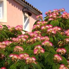 Mimosa (Albizia julibrissin)        A common sight in California, these feathery, pink-flowering trees like it hot and dry, with free-draining soil. Place away from the wind.    Check the USDA Plant Hardiness Zone Map to see if you can grow this tree.