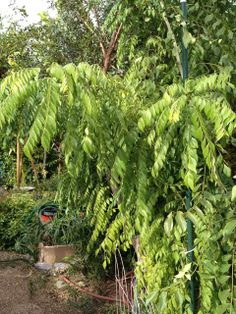 How To Grow And Cook The Curry Leaf Plant Murraya Keonighii Rutaceae Garden Pool Tropica Mango Rare Exotic Tropical Fruit Tree Nursery