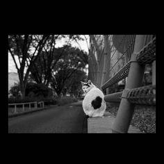 https://flic.kr/p/BwfeiG   Mayu November 2015  #cat #photograph #blackandwhitephotography