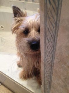 Cairn terrier sneaking around!