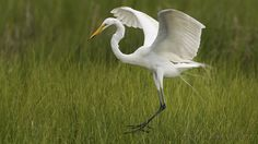 https://flic.kr/p/xDPnqS | Devastating beauty -  The Great Egret | Images taken by hoan luong is licensed under a Creative Commons Attribution-NonCommercial-NoDerivs 3.0 Unported License.