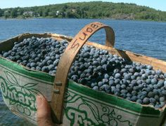 Wild blueberries, northwestern Ontario