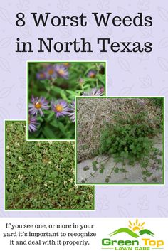 20 Best Lawn Weeds Of North Texas Images Lawn Care