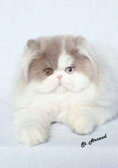 #PersianCat