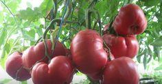 Grădinărit Archives - Page 8 of 18 - Fasingur Tomato Garden, Sustainable Design, Permaculture, Interior Design Living Room, Organic Gardening, Design Trends, Color Schemes, Vegetables, Pergola