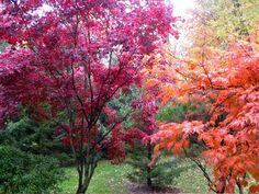japanese maple trees.