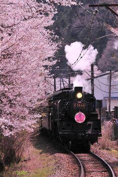 Cherry Blossom, Shizuoka, Japan 桜の沿いを走る大井川鉄道SLさくら号 #桜 #CherryBlossom