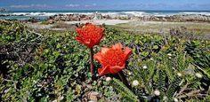 Região das flores do Cabo, África do Sul, Patrimônio Mundial da Unesco.