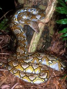 This reticulated python is the longest snake in the world.