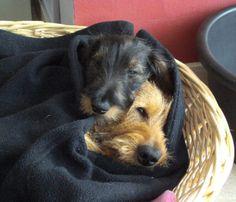 Online deals for dachshund dog supplies Dachshund Puppies, Dachshund Love, Cute Puppies, Cute Dogs, Dogs And Puppies, Weiner Dogs, Doggies, Scottish Terrier, Wire Haired Dachshund