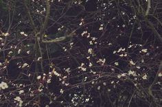"Cherry blossom photography ""Constellation"" by Hextrovert"