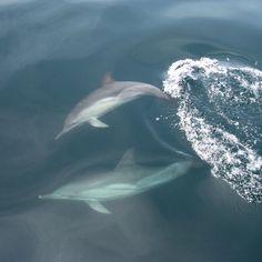 ES: Si vienes al Parque Nacional Mochima durante el trayecto en la lancha podrás ver delfines muy cerca en su hábitat natural , es un espectáculo digno de conocer y admirar. ------------------------- EN: If you come to Mochima National Park during the boat ride you will see dolphins in their natural state very close , it's a spectacle worthy to watch and admire.  #turismo #Viajes #Venezuela #Tierradegracia #Travel #Trip #Dolphins #Mochima #Tourism #Instapic #tagsforlikes #nature #amazing…
