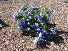 1000 images about plumbago auriculata on pinterest capes shrubs and evergreen shrubs. Black Bedroom Furniture Sets. Home Design Ideas