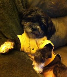 My lil guy Nemo - cutest Shih Poo! Shih Poo, Guy, Ship, My Style, Dogs, Animals, Animales, Animaux, Pet Dogs