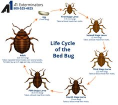 The life cycle of a bed bug.  If you think you may have bed bugs, contact A1 Exterminators at 800-525-4825 for a home inspection.