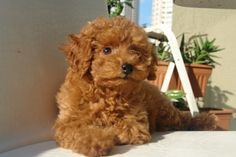 Apricot+Toy+Poodle | ... Poodle Forum - Standard Poodle, Toy Poodle, Miniature Poodle Forum ALL