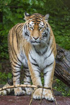 https://flic.kr/p/fUM5Qu | Serious Elena | Elena the Amur tigress seriously posing...