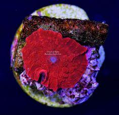 Saler Aquarium Store | Ultra Goni Frags Available Coralust Com Coral Frags For Sale