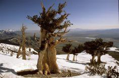 Bristlecone pine in Nevada's Ruby Mountains #travel #nevada #usa