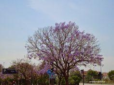 parquealamillo-encinarosa: Jacaranda ovalifolia / Jacaranda mimosifolia / Jac...