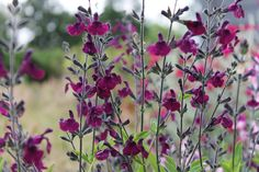 Salvia 'Nachtvlinder' Highly aromatic foliage, long wands of deep purple flowers from April to . Salvia 'Nachtvlinder' Highly aromatic foliage, long wands of deep purple flowers from April to November. Salvia, Beautiful Gardens, Beautiful Flowers, Garden Shrubs, Shade Garden, Small Gardens, Purple Flowers, Exotic Flowers, Yellow Roses