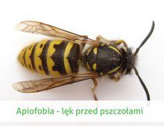 apiofobia - strach przed pszczołami