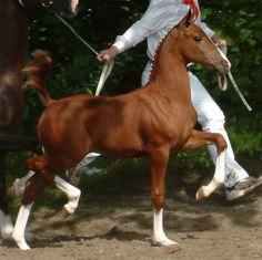 Dutch Harness Horse Arnaldo by Saffraan