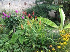 Hédychium Assam orange - Le jardin d'épices