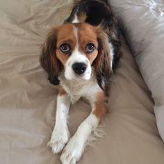 Beaglier ~ Beagle/Cavalier King Charles Spaniel Mix