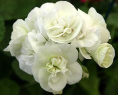 Pelargonium 'Mme Recamier'