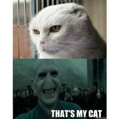 the best things that you can ask for. check out the LOL Voldemort Cat LOL Harry Potter Vs Voldemort, Harry Potter Cat, Harry Potter Drawings, Lol So True, Slytherin, Hogwarts Extreme, Funny Cat Memes, Funny Pics, Funniest Memes