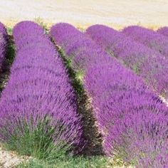 Lavender grows well in areas with hot, dry weather.