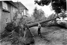 Mrs. Elizabeth Reynolds views the tree in her front yard that was pulled out of the ground during a wind storm, Glendale, December 9, 1982. Glendale Central Public Library. San Fernando Valley History Digital Library.