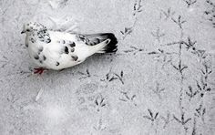 A pigeon leaves trails on snow covered ground outside Russia's Siberian city of Krasnoyarsk on Oct. 11, 2012.  [Credit: Ilya Naymushin/Reuters]