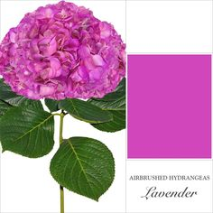 Hydrangea Airbrushed - EbloomsDirect Where to Buy Bulk Flowers Online for Your Wedding - #roses #Garden #Flowers #peonies #wedding #events #bouquets #arrangement #party #Carnation #BabysBreath #centerpieces #autumn #recipes #bridal #floral #DIY #gift #valentines #bride #blooms #anniversary #mothersday #baby #USA #Costco, #art #Texas #design #SamsClub #fiftyflowers #GlobalRose #BloomsbytheBox #Bloominous #ThePerfectPalette #theweddingpages #TheBouqs