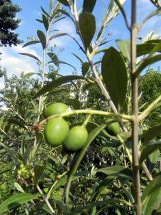 premières olives