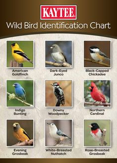 What birds do you see in your yard? Use this ID chart to help you identify some . - What birds do you see in your yard? Use this ID chart to help you identify some common birds! Pretty Birds, Beautiful Birds, How To Attract Birds, Identify Birds, Bird Identification, What Is A Bird, Common Birds, Bird House Kits, Backyard Birds