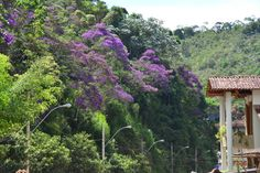 These trees are called Quaresmeiras and they flower only once every year. It is just wonderful. Santa Teresa-ES