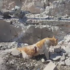 A cat in Syria wounded after a shrapnel hit due to Russian...