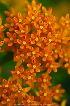Asclepias tuberosa - Butterfly milkweed.!      So pretty!     Aline for gardens and flowers