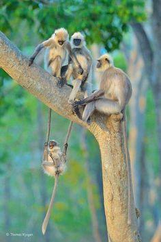 Macacos Cercopithecidae, utiliza a cauda de dois adultos para se balançar !!!