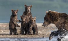 How does she expect us to do THAT? Bear cubs look terrified as they watch their mother show them how to fish