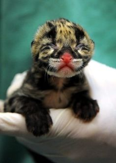 That is one pink nose  --  Clouded Leopard Cub