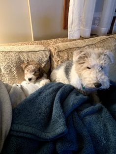 Fox Terriers, Wirehaired Fox Terrier, Wire Fox Terrier, Bull Terrier, Jack Russell Terrier, Friends Forever, Snuggles, Puppy Love, Doggies