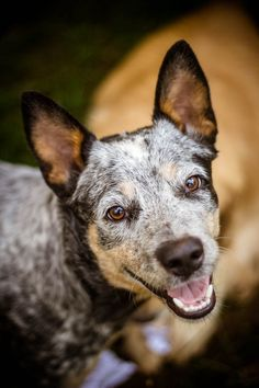 Untitled by Rafael Ericson, via Best Dog Toys, Best Dogs, Austrailian Cattle Dog, Best Dog Training, Large Dog Breeds, Dog Runs, Girl And Dog, Dogs And Puppies, Hound Puppies