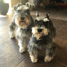 We've been discussing it and have decided it's time for a treat | A community of Schnauzer lovers!