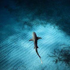 Lemon Shark Swims Below Photographer, Bahamas Photo by ©Jorge Hauser #WildlifePlanet