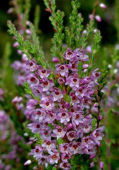 RØSSLYNG - Calluna vulgaris